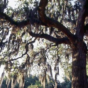savannah-spanish-moss-l